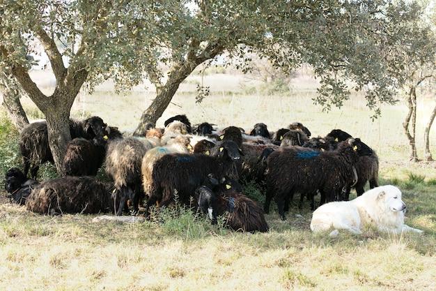 Patou en kudde schapen in vrijheid verzameld