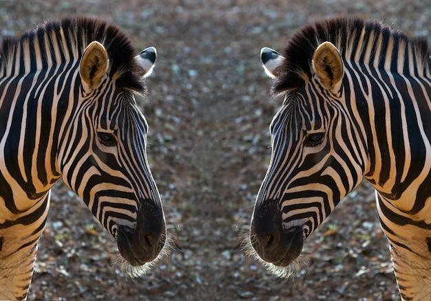 Patroon en huid van zebra.