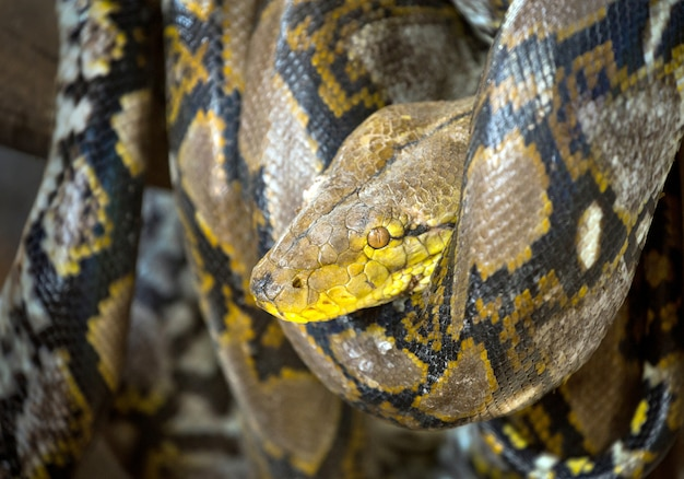 Patroonhuid python opgerold op het hout.