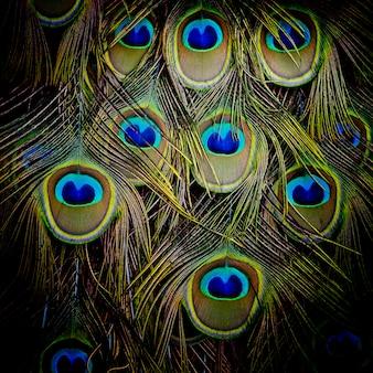 Pauw groen en blauw verenkleed in dichte omhooggaand.