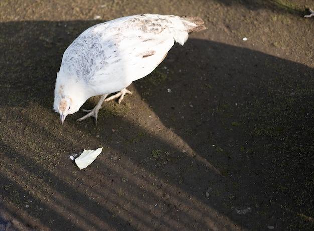 Pauw loopt op de grond om kool te eten
