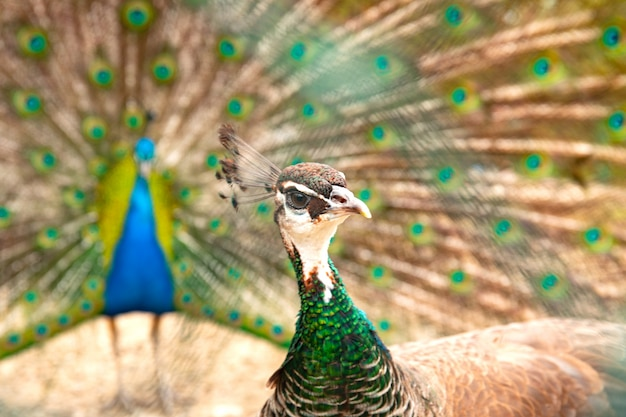 Pauw pauw met open staart. mannelijke en vrouwelijke pecocks samen.
