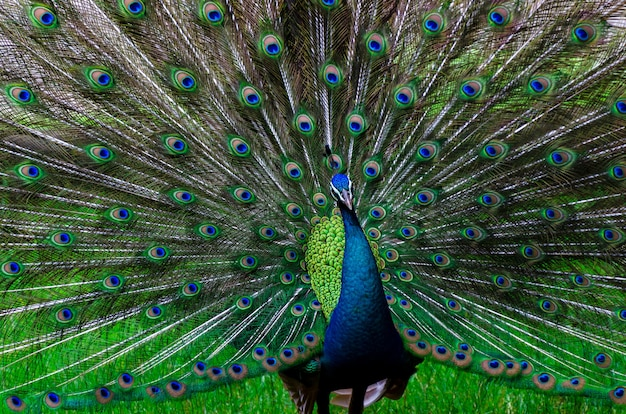Pauwpauw mooi staartpatroon groen stip
