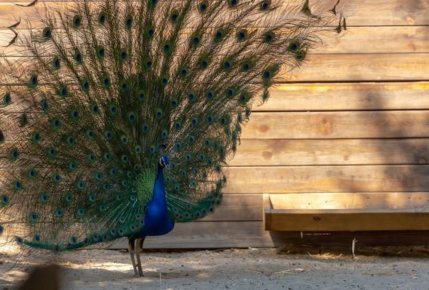 Pauwvogel die zich in tuin met open staart bevindt. blue peacock met een lange staart eet van de feeder feeders en loopt in de buurt van een houten huis. kopieer de ruimte, close-up. pauw spreiden gewaaide staartveer