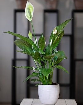 Peace lily, spatifilum bloemplant in witte pot