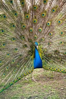 Peacock loste zijn mooie staart op