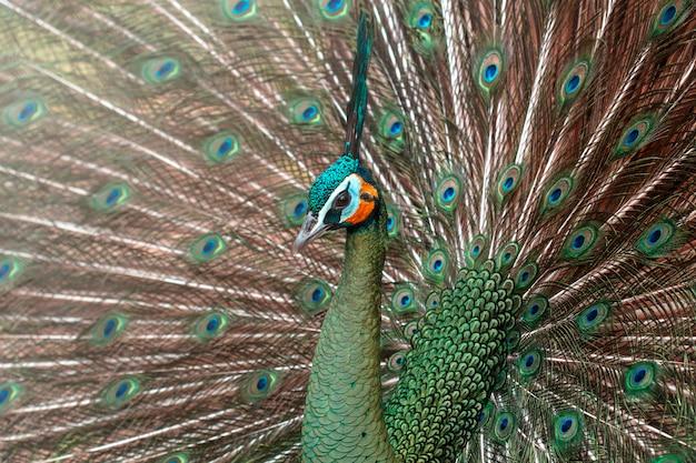 Peacocks in nature, green peafowl of pavo muticus (cristatus)