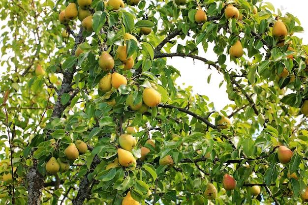Peer aan een boom in de tuin biologische boerderijproducten zomer herfst