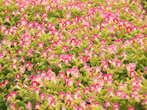 Pelargonium geranium groep helder cerise roze bloemen
