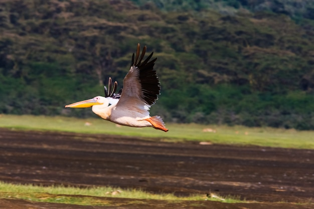 Pelican vliegt. nakuru, kenia