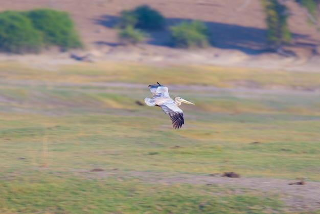 Pelikaan die over de afrikaanse struik op de rivieroever van chobe-rivier, namibië vliegt. wildsafari in het chobe national park, beroemd wildreservaat en luxe reisbestemming.
