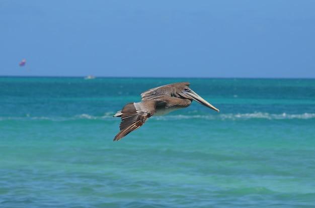 Pelikaan die over de tropische aquawateren vliegt voor het eiland aruba.