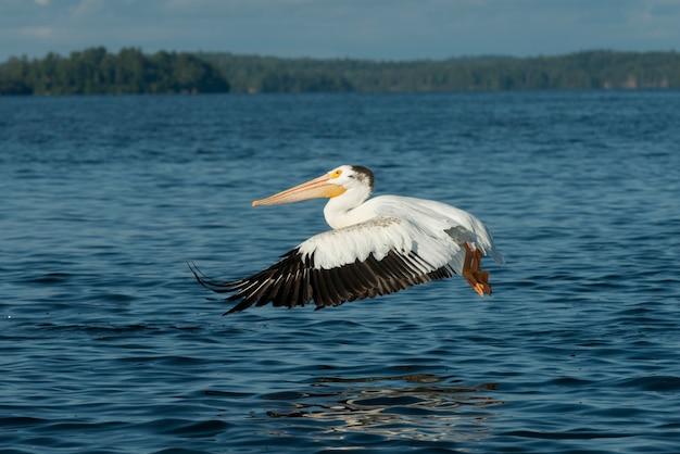 Pelikaan die over een meer, meer van het hout, ontario, canada vliegen