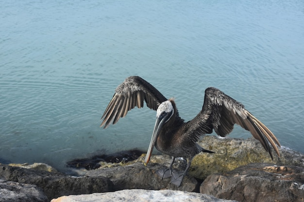 Pelikaan die zijn vleugels aan het drogen en luchten is in de caraïbische zon.
