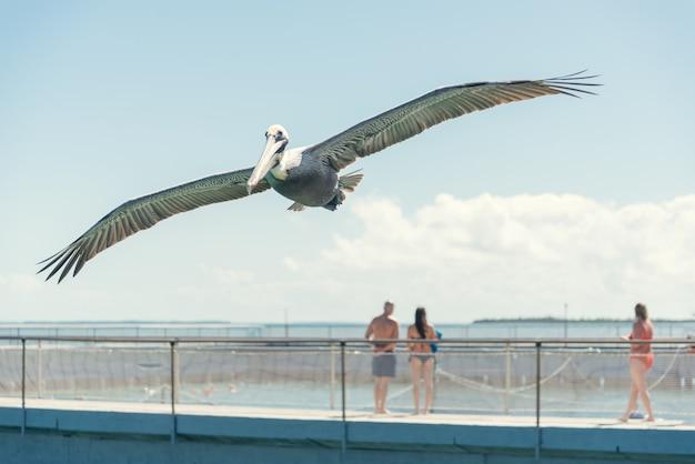 Pelikaan vliegt over het strand