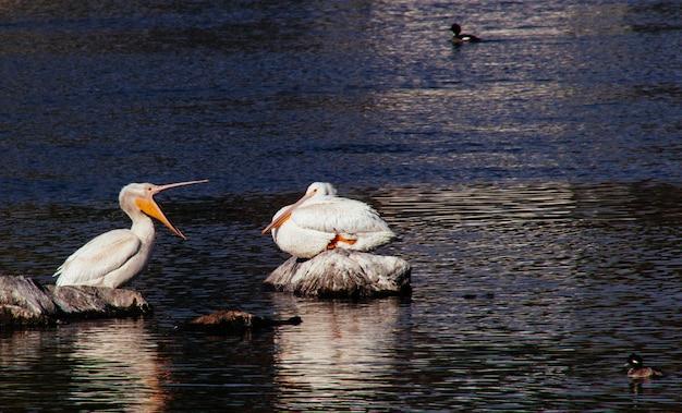 Pelikanen die op rotsen zitten met eenden die rond zwemmen