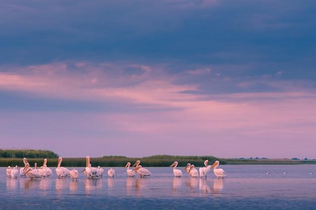 Pelikanen in de ochtend in de donau-delta