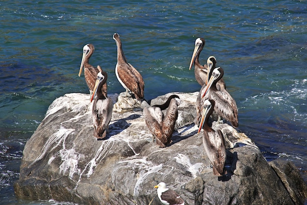 Pelikanen in het dorp zapallar in chili