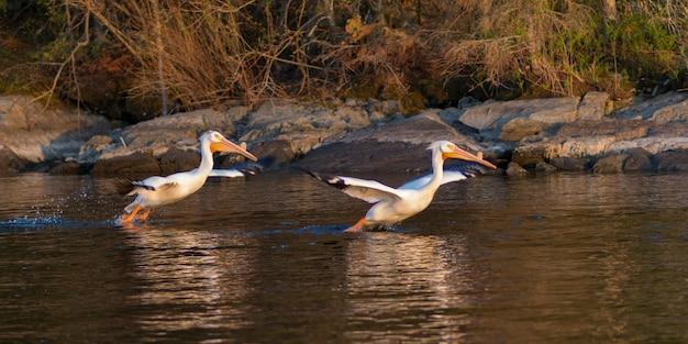 Pelikanen over het meer, lake of the woods, ontario, canada