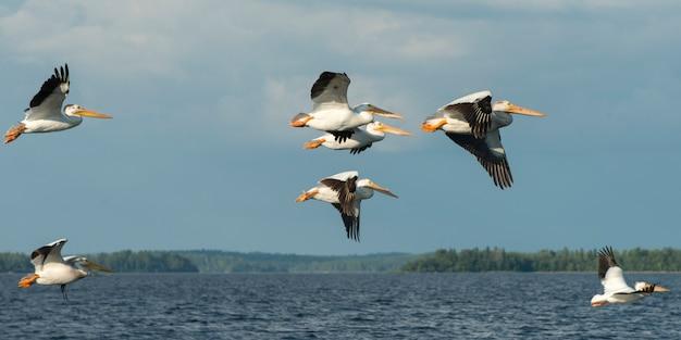 Pelikanen vliegen over een meer, kenora, lake of the woods, ontario, canada