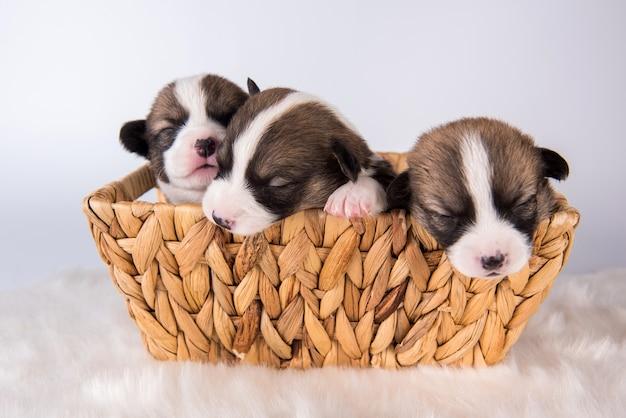 Pembroke welsh corgi pembroke puppy's op de mand