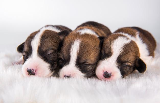 Pembroke welsh corgi pembroke puppy's op wit