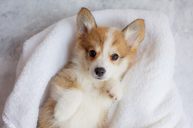 Pembroke welsh corgi-puppy slaapt in een deken