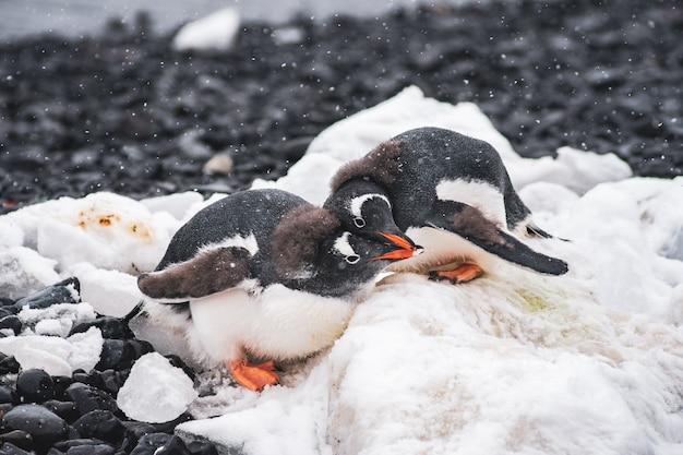 Penguins love in brown bluff, antarctica