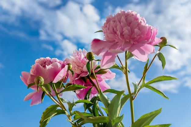 Peoniebloemen tegen blauwe hemel baackground.