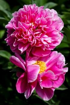 Peony bloem