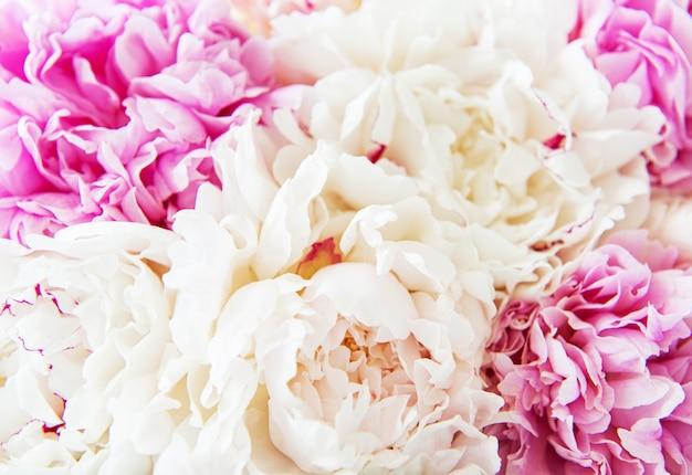 Peony bloemen