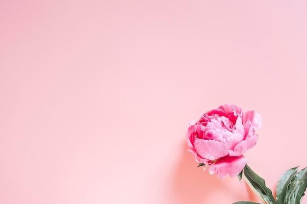 Peony op een levendige roze achtergrond