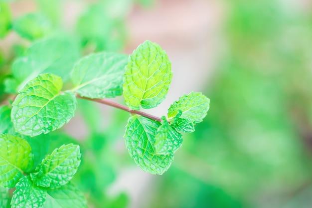 Pepermunt, groene muntblaadjes op zachte focus op onscherpe natuurlijke achtergrond