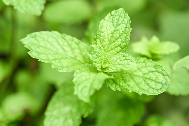 Pepermuntblad in de tuin - verse muntbladeren in een aard groene kruiden of groenten