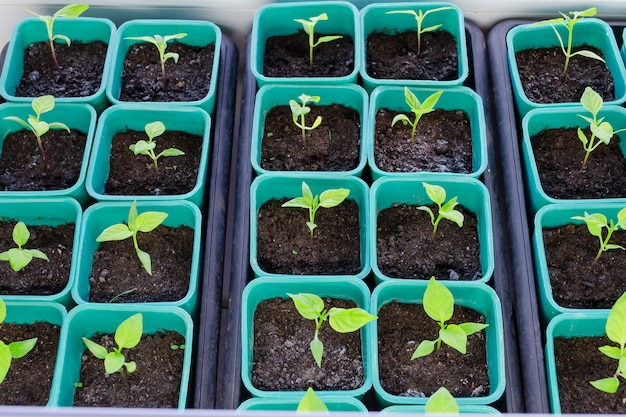Peperzaailingen in plastic potten. zaailingen kweken in het vroege voorjaar in de kas.