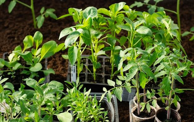Peperzaailingen, tomatenzaailingen, close-up van jonge bladeren van peper, verse de lenteachtergrond.