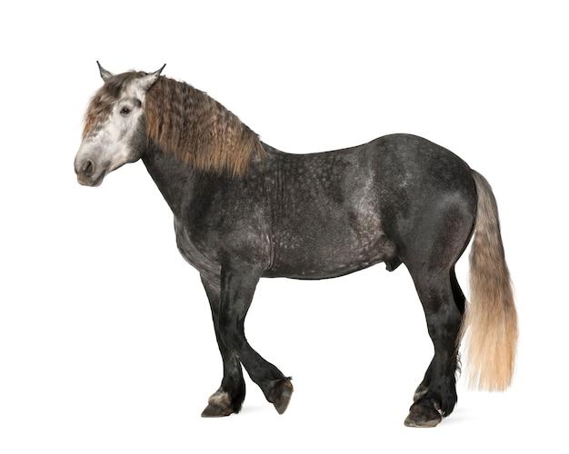 Percheron, 5 jaar oud, een ras van trekpaard, staande tegen witte ruimte