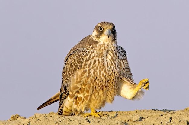 Peregrine falcon juvenile