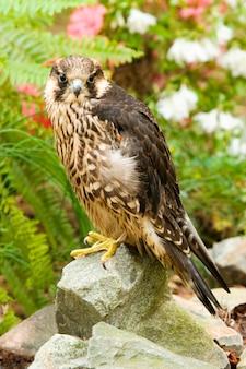 Peregrine falcon perched op rock
