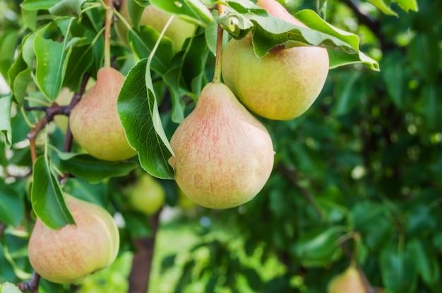 Peren op tak. peren - boomgaard