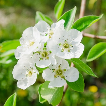 Perenboom bloesem close-up. witte perenbloem op naturl achtergrond.