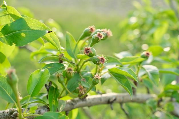 Perenfruit op de boom, lentetijdbegin van de zomer in de tuin