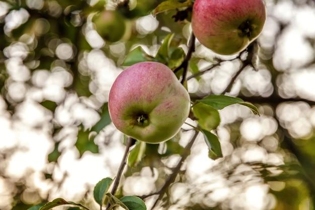 Perfecte rode groene appel groeit op boom in biologische appelboomgaard. herfst herfst uitzicht op tuin in landelijke stijl. gezonde voeding veganistisch vegetarisch baby dieet concept. lokale tuin produceert schoon voedsel.