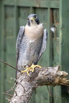 Perigrine falcon (falco perigrinus) zit op een dode boom