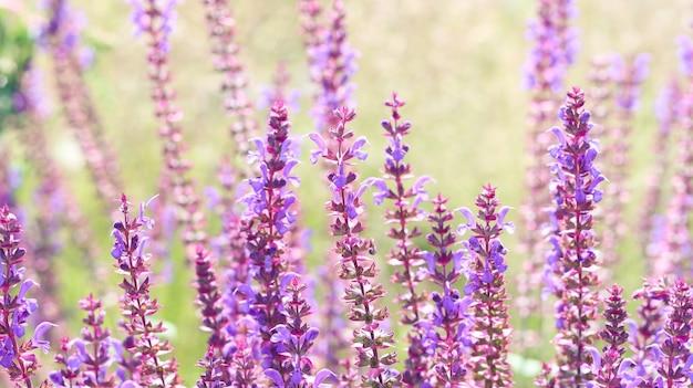 Perovskia paarse bloemen of russische salie plant natuur achtergrond