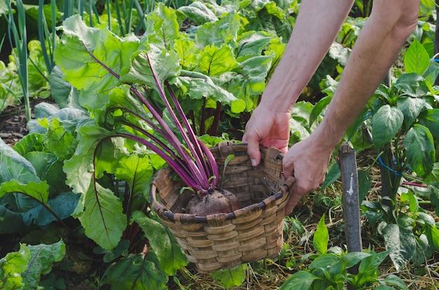 Persoon die bieten in de tuin verzamelt.
