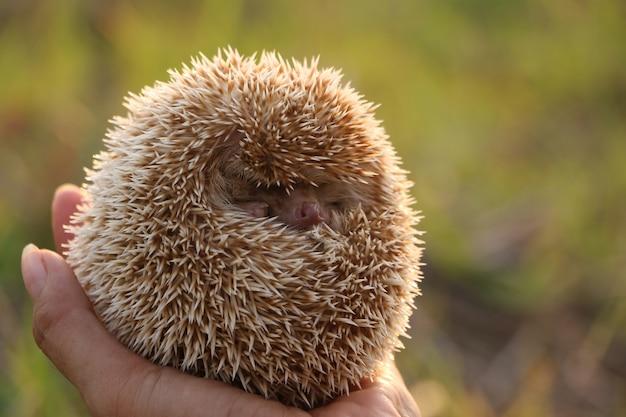 Persoon die cute hedgehog in hand scared stekelig zoogdier