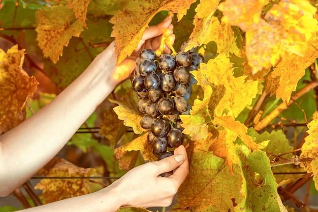Persoon die druiven van de wijngaard verzamelt