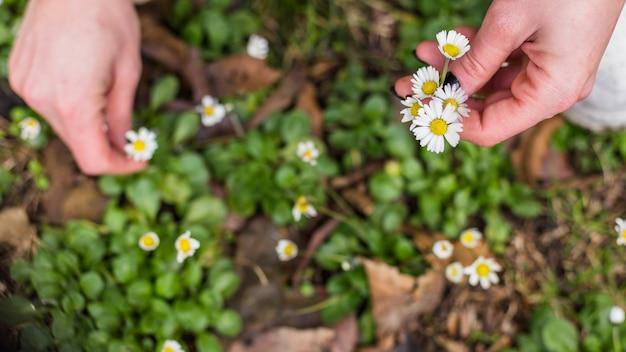 Persoon die kleine witte bloemen van het land plukt