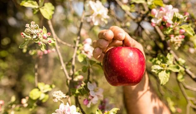 Persoon die rode appel van boom plukt